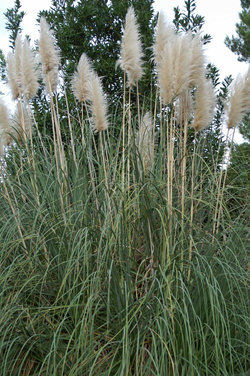 Building Work and Pampas Grass (Not NecessarilyConnected)