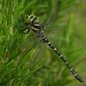 Emperor dragonfly with Broken Wing - Janet Taylor