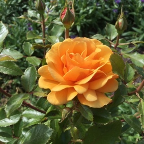 Rose 'Simply the Best' - Mary Noble